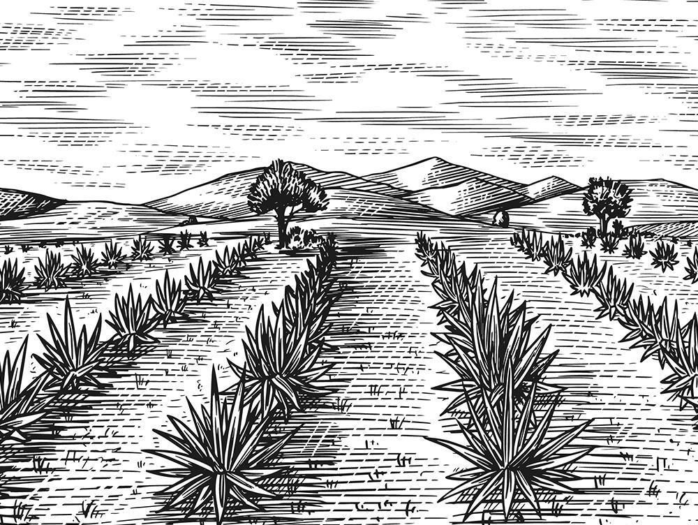 Рисунок плантации Агавы
